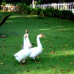 Glyngarth Villa Heritage Resort-Ducks-Ooty India