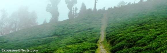 foggy Temi Tea Gardens sikkim
