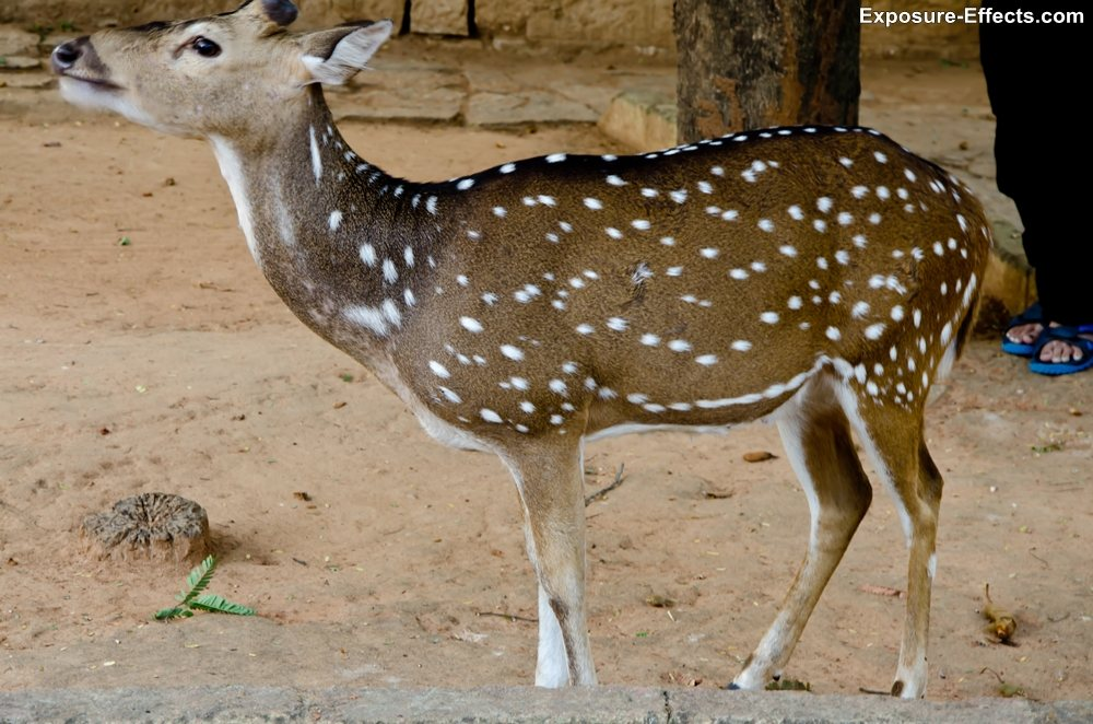 Bannerghatta bangalore jungle lodges and resorts-61-deer-inside-resort