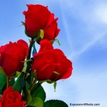 Bunch of Red Roses pictures
