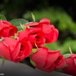 Pictures of Red Roses