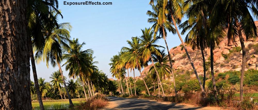Coconut Trees Hampi Vijayanagara