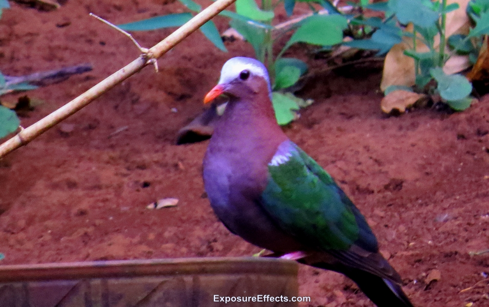 Birds in Dandeli Common Emerald Dove Pictures
