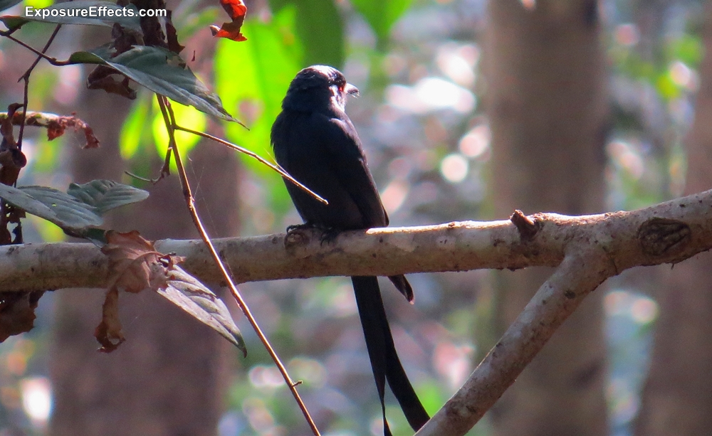 Black Drongo In Dandeli