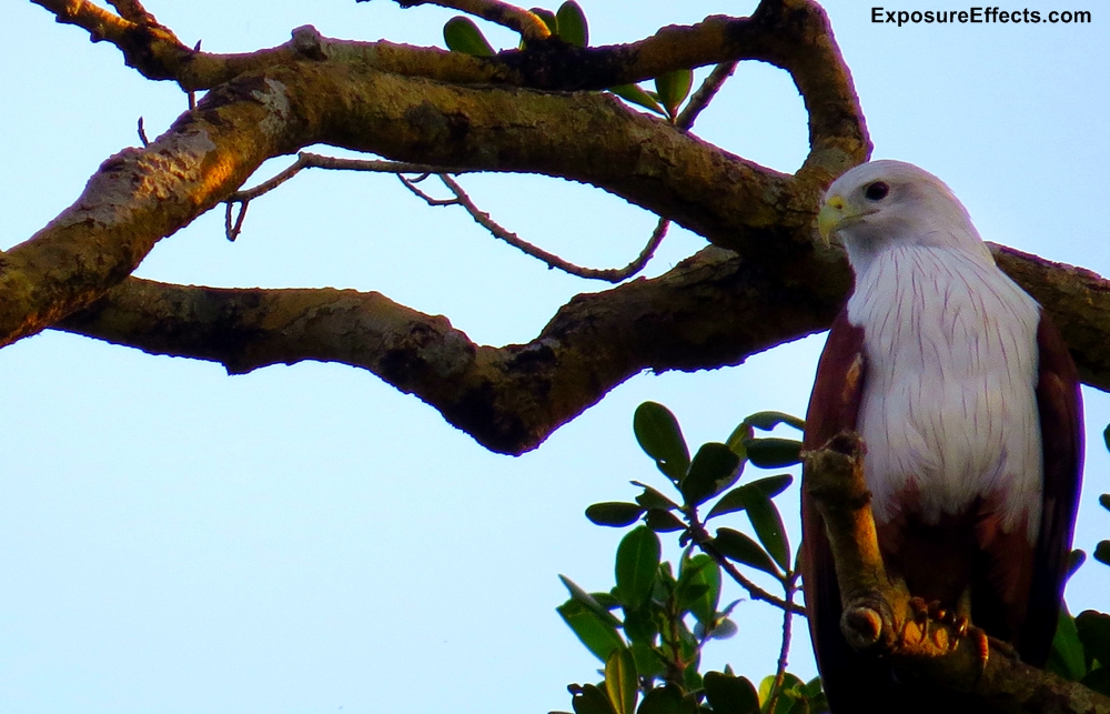 Brahminy Kite Dandeli Karnataka