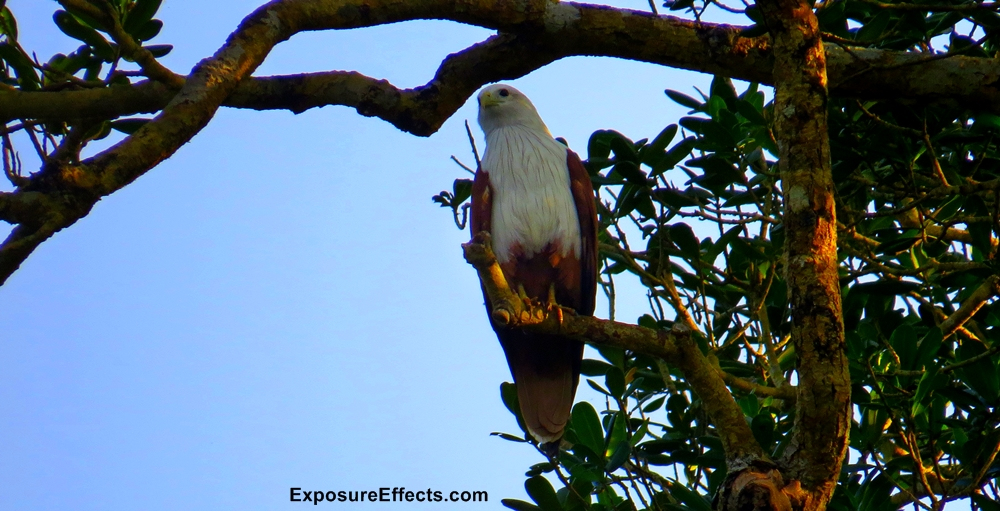 Brahminy Kite In Dandeli