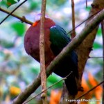 Common Emerald Dove – Male and Female