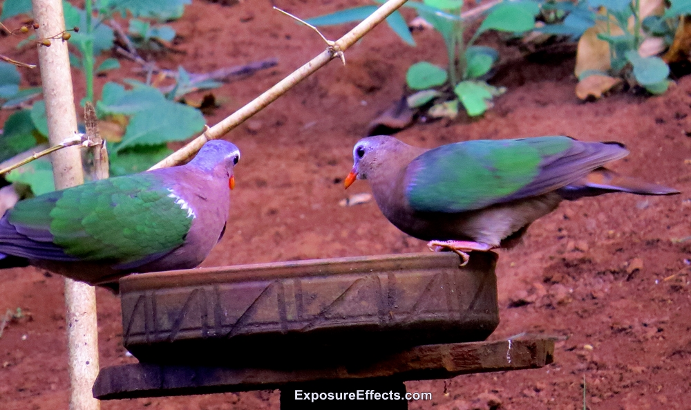 Common Emerald Dove Male and Female