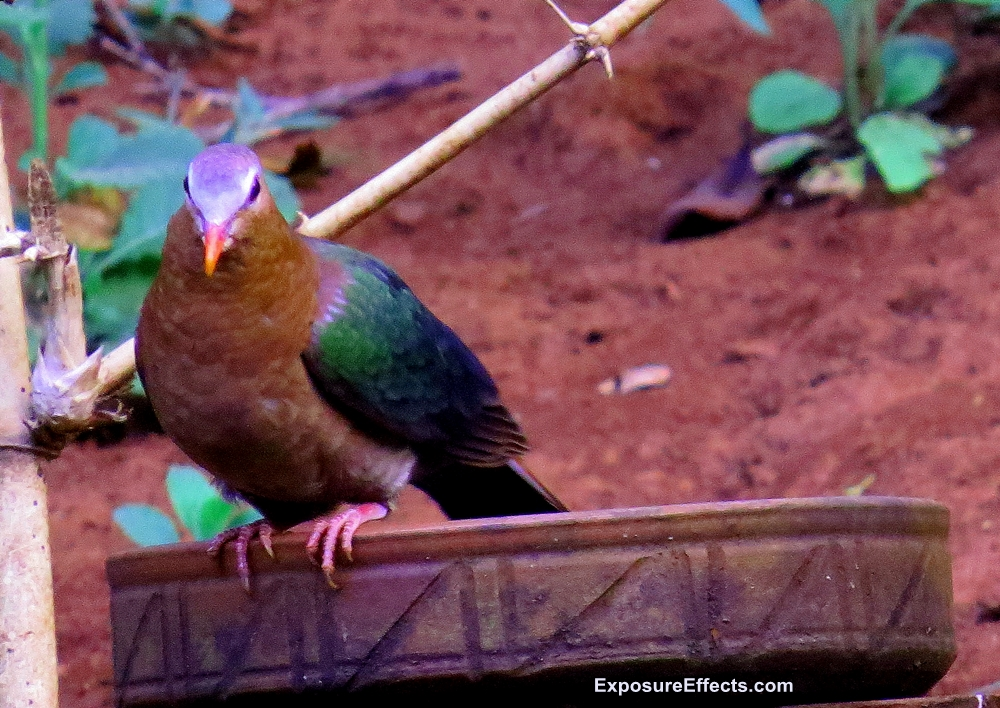 Common Emerald Dove Pictures