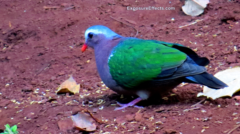Common Emerald Dove pics