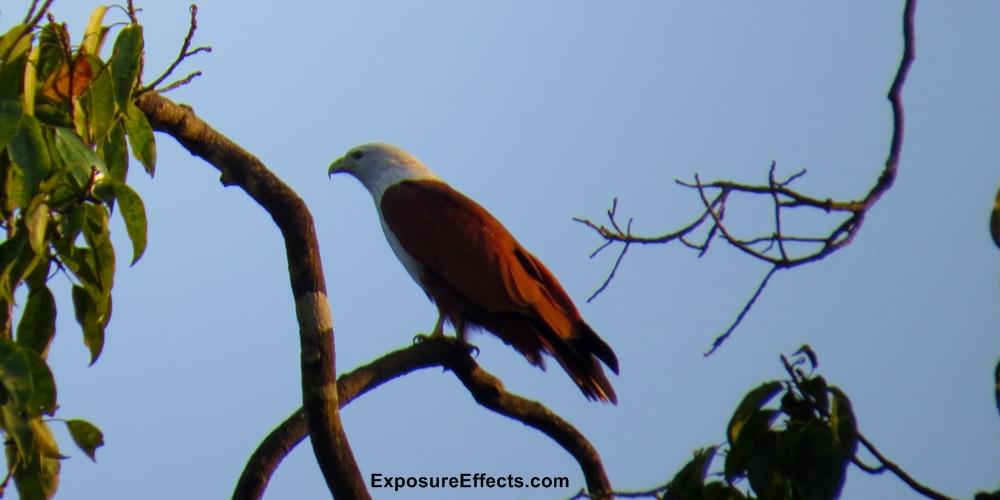 Dandeli Birds Brahminy Kite