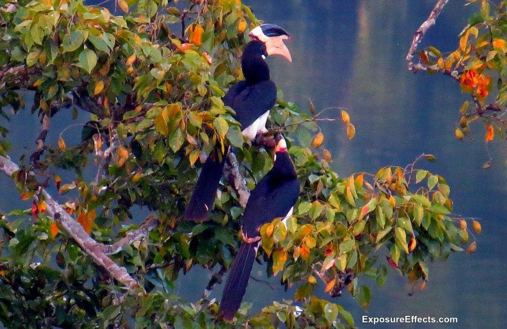 Dandeli Birds Malabar Pied Hornbill