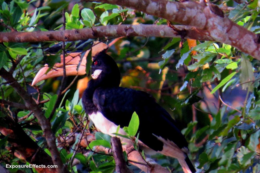 Malabar Pied Hornbill Bird