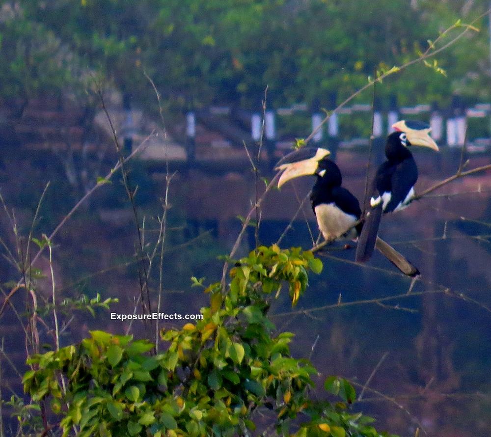 Malabar Pied Hornbill Dandeli