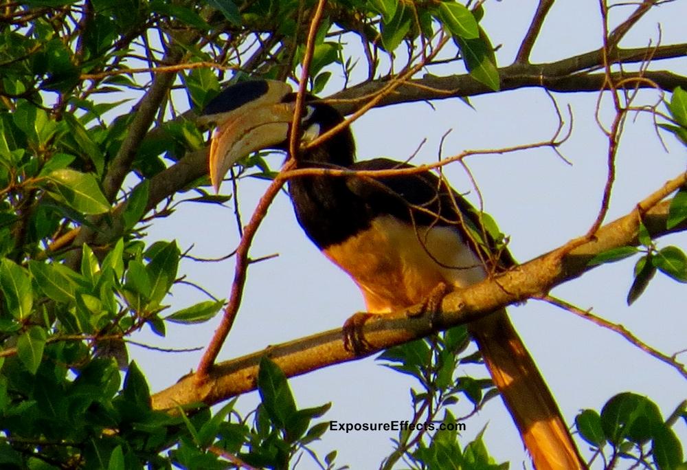 Malabar Pied Hornbill in Dandeli