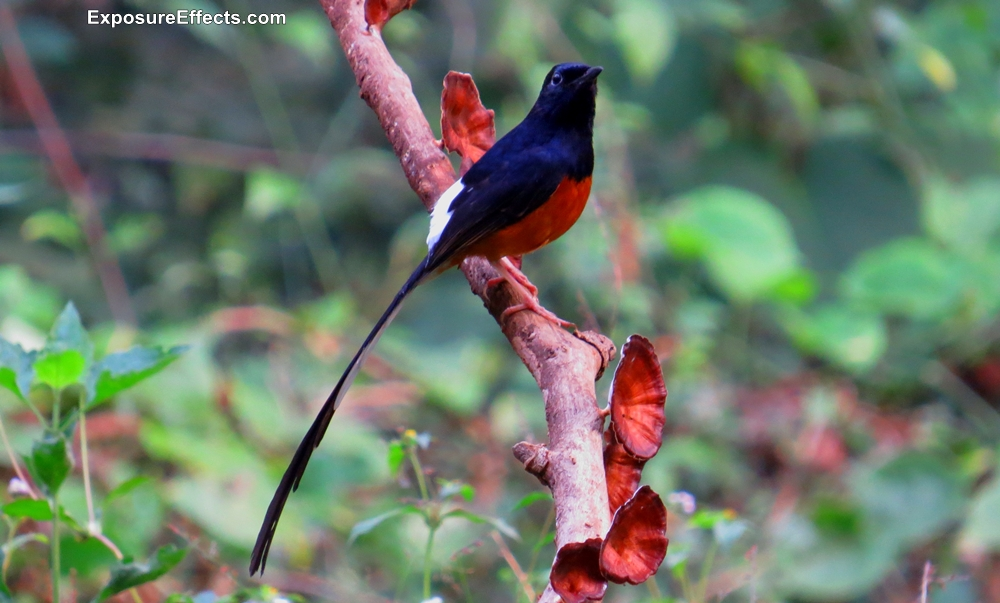 White Rumped Shama Birds in Dandeli
