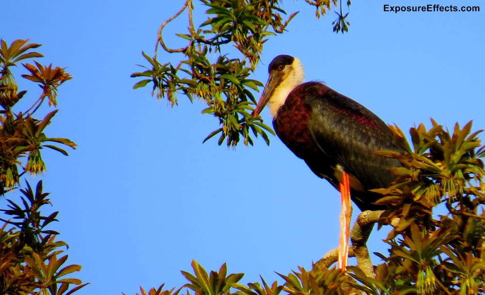Woolly Necked Stork