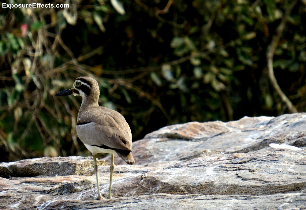 Great Stone-curlew Birds Karnataka India