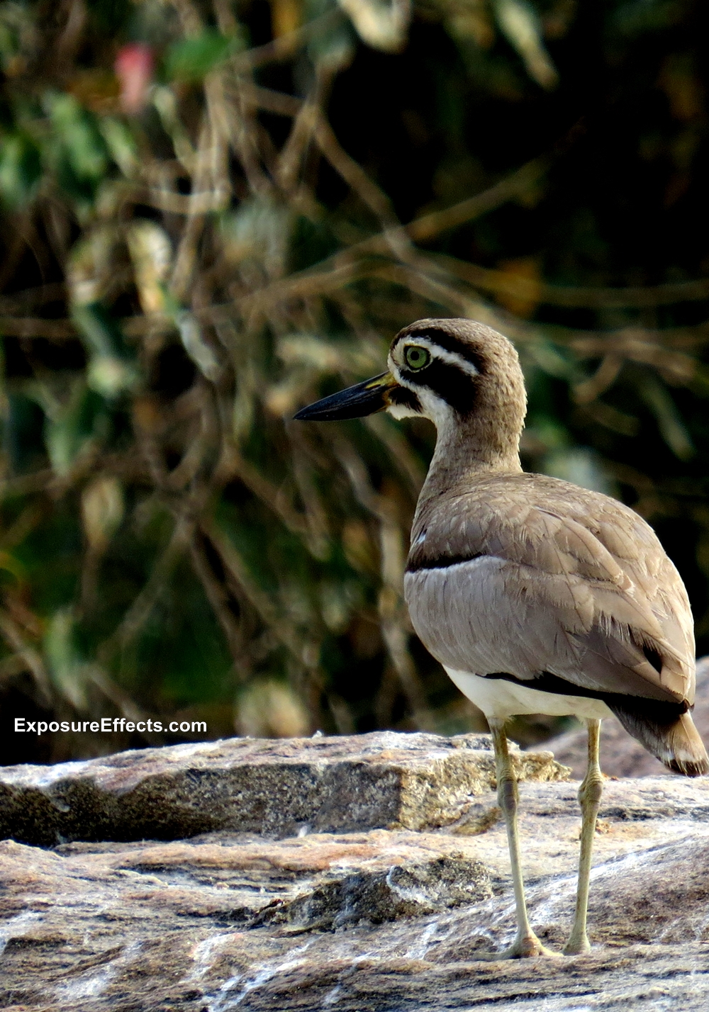 Great Stone-curlew at Ranganthittu Bird Sanctuary Karnataka