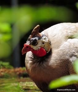 Guinea Fowl Birds – Male and Female
