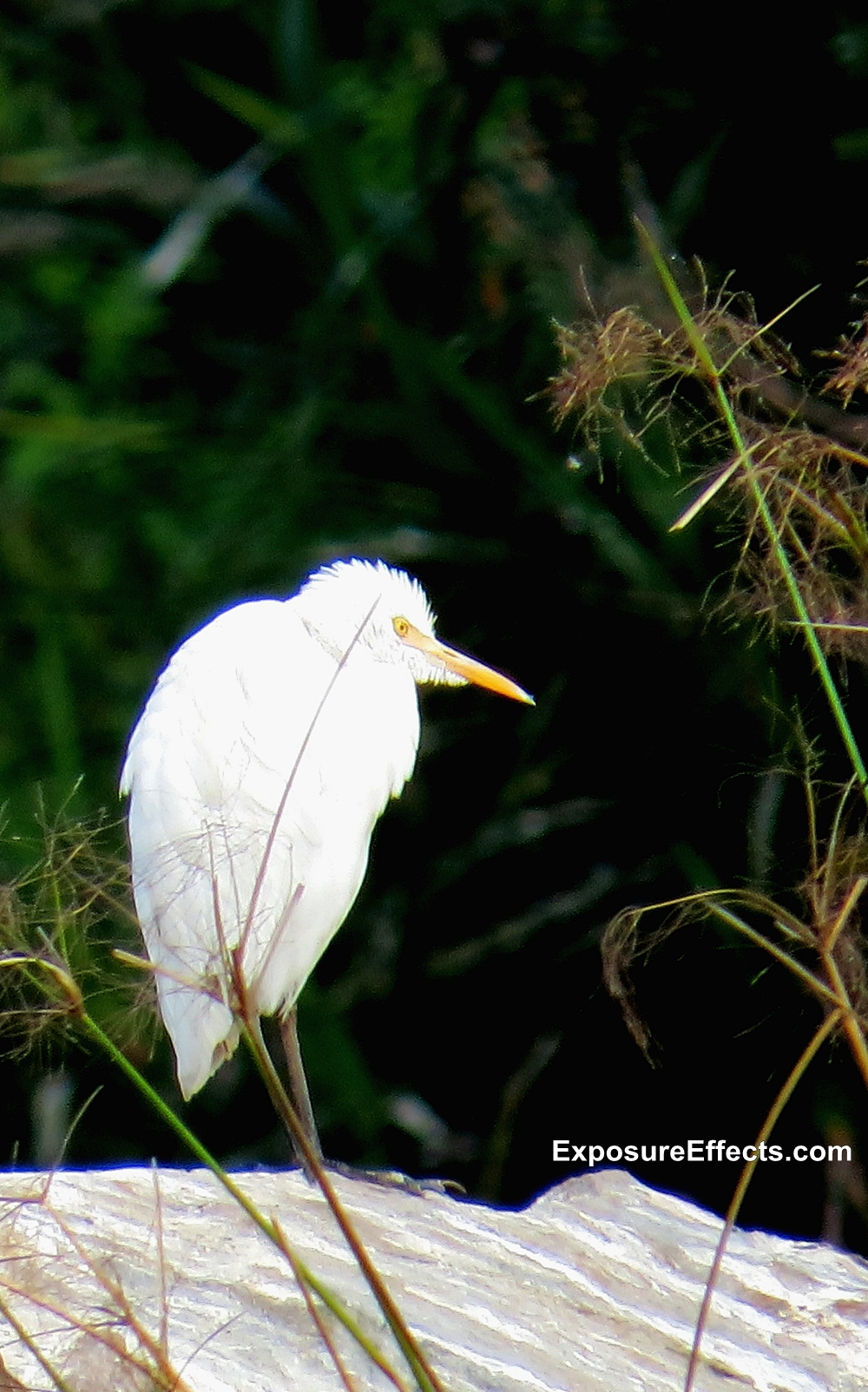 Egret at Ranganthittu Bird Sanctuary