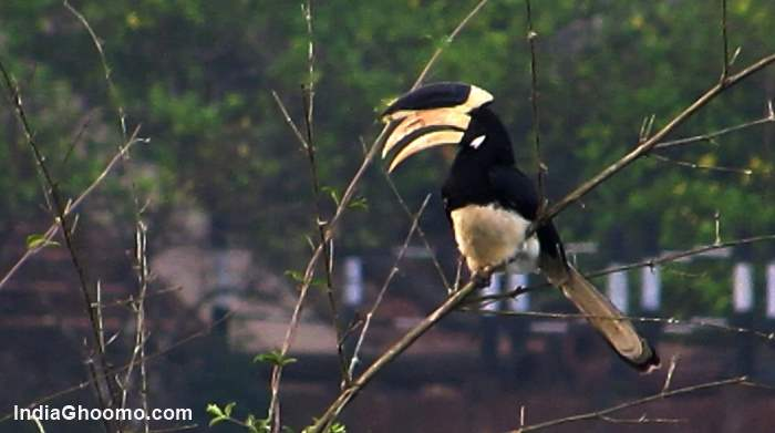 Malabar Pied Hornbill - India Ghoomo