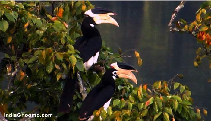 Malabar Pied Hornbill - Male Female