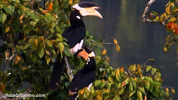 Malabar Pied Hornbill - Male and Female