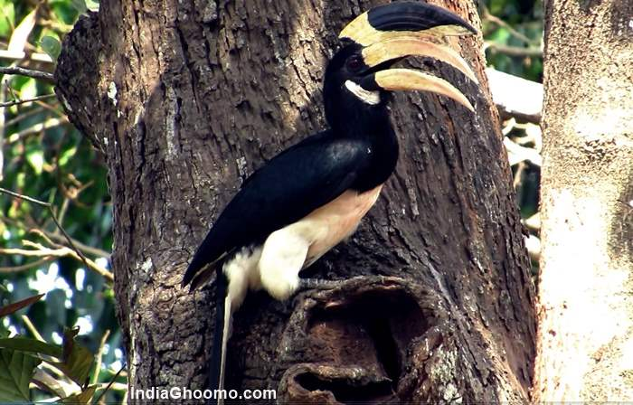 Malabar Pied Hornbill breeding and nesting pics