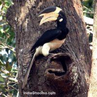 Malabar Pied Hornbill - nesting