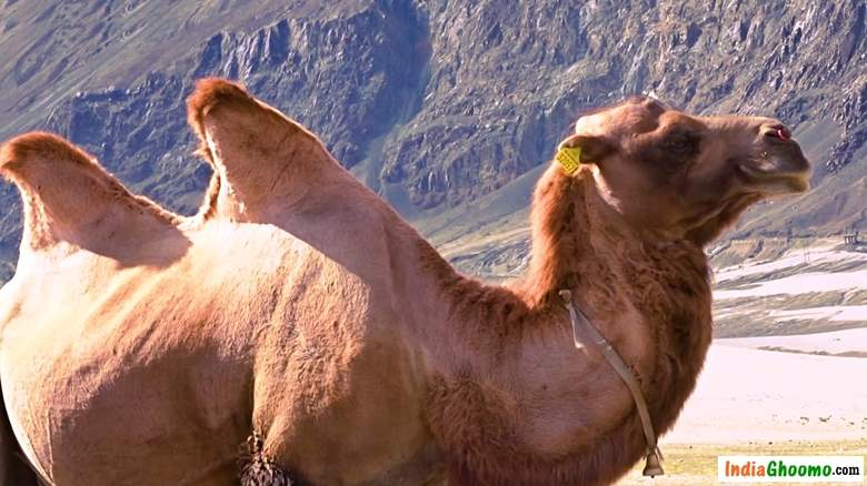 Hunder Bactrian double humped camel