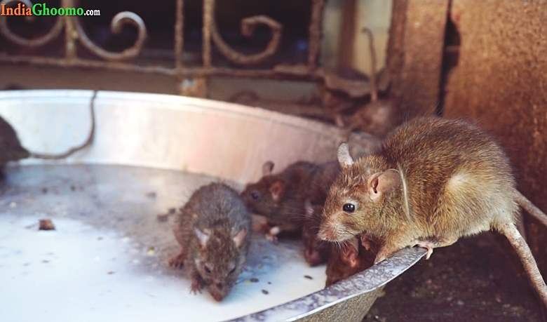 Mysterious Karni Mata Temple in Bikaner - Rajasthan Rat Temple