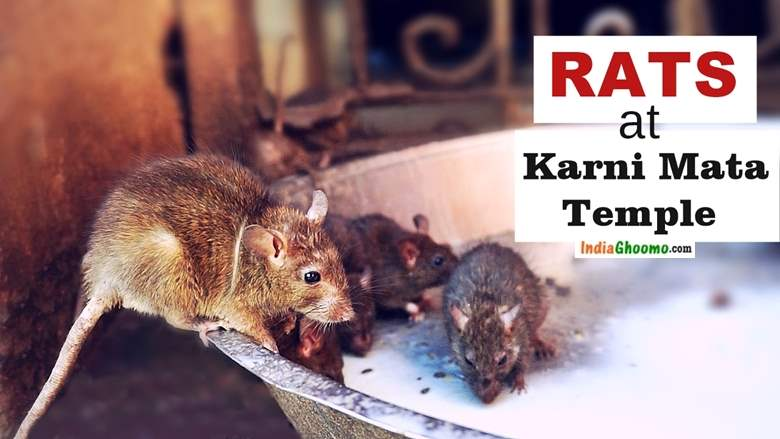 Rats at Karni Mata Temple Bikaner in Rajasthan