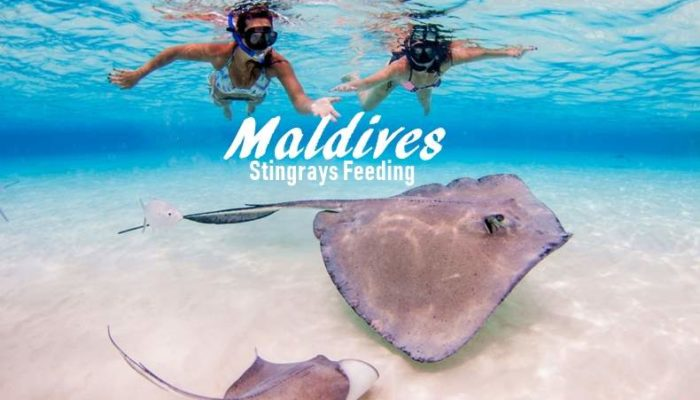 Maldives – Stingrays Feeding at Sun Island Resort