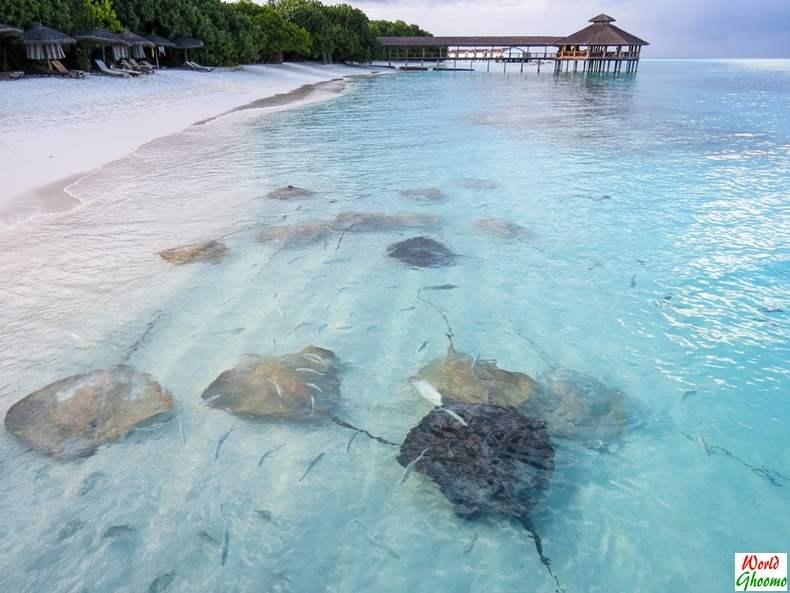 Maldives Stingrays Feeding activity