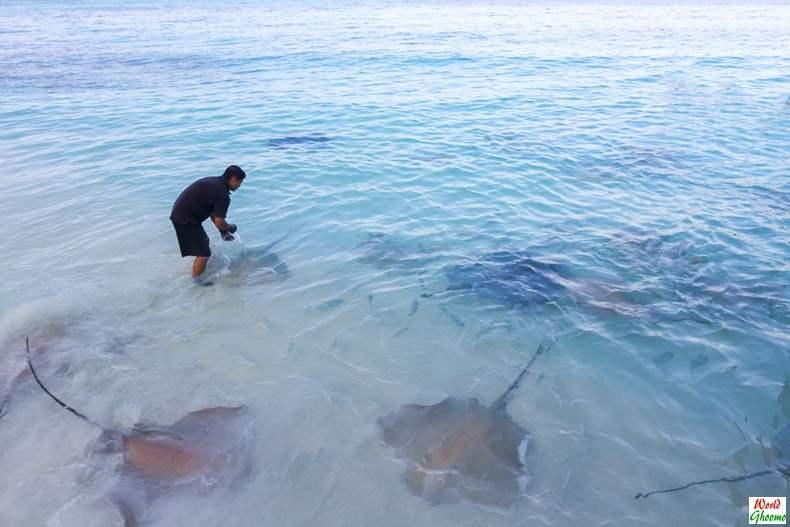 Stingrays Feeding at Maldives