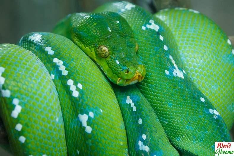 Green boa Bali Reptile Park