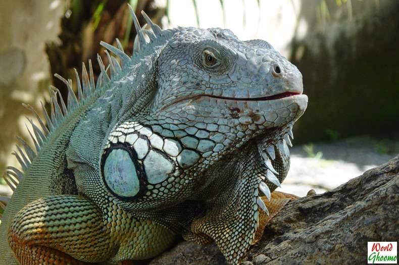 Iguanas Bali Reptile Park
