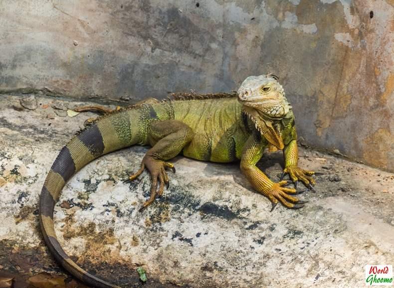 Iguanas at Bali Reptile Park