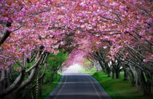 Witness Cherry Blossom Festival in Shillong, India